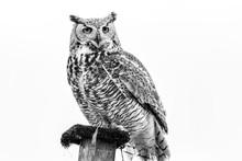 Snow Owl On Post