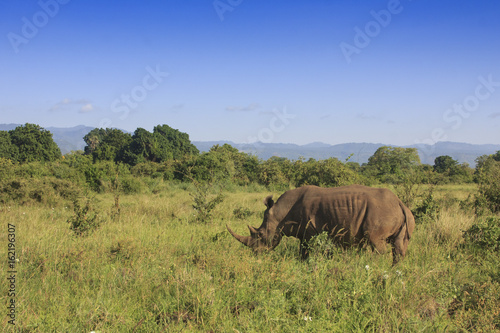White Rhino in African savannah. Meru National Park, Kenya