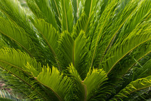 Cycas Young Leaves Closeup
