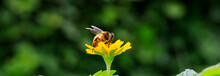 Close Up Of A Beautiful Bee On Yellow Flower With Nature Background. Copy Space Left Or Right