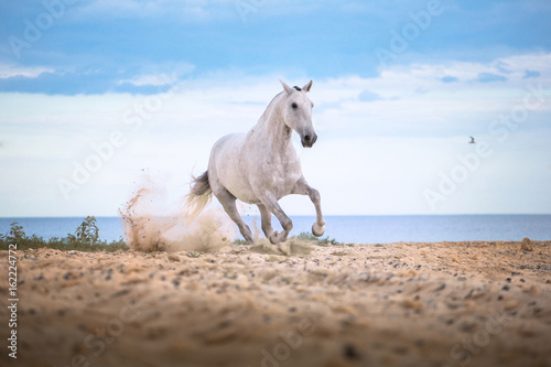 Obrazy na płótnie Canvas White horse runs on the beach on the sea and clougs background