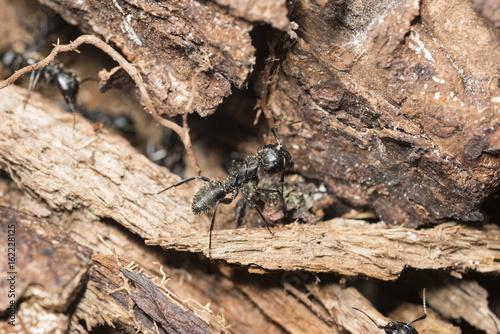 Plakat Mrówki w bardzo starym drzewie