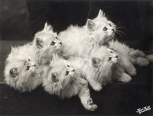 Fall - Chinchilla Kittens. Date: 1935