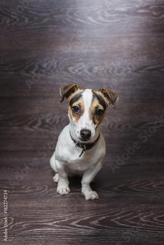 Keuken foto achterwand Kat Pretty puppy is staring with curiosity. Jack Russell Terrier in front of dark wooden background.