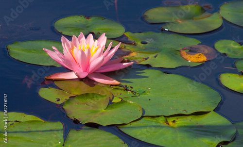 Photo  water lilly and lilly pads