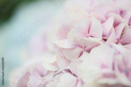 Poster Hortensia hydrangea flower