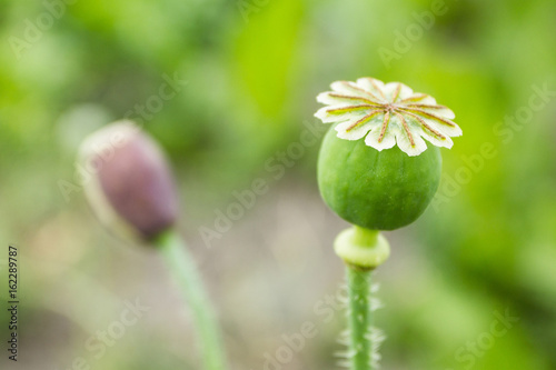 Opium poppy papaver somniferum poppy flower buy this stock opium poppy papaver somniferum poppy flower mightylinksfo