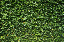 Ivy (Hedera). Natural Green Ba...