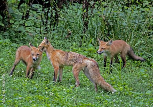 Keuken foto achterwand Hert Red Fox family playing in green grass.