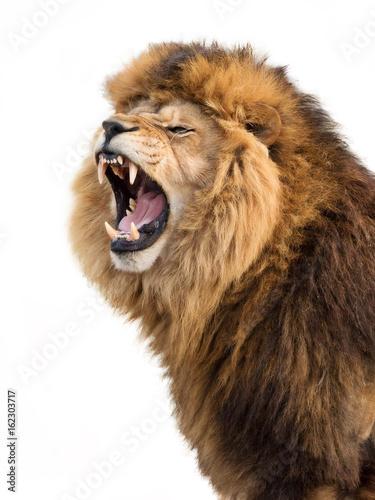 Fotobehang Leeuw Angry lion