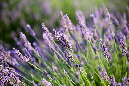 Fotobehang Lavendel lavandes en provence
