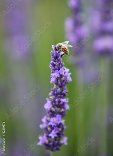 In de dag Lavendel lavandes en provence