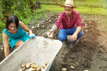 Young Couple Harvesting Potatoes In Vegetable Garden