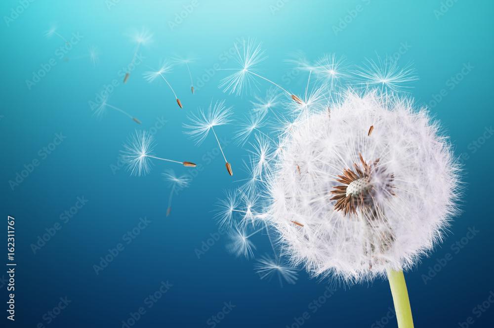 Fototapety, obrazy: Dandelion flying on blue background