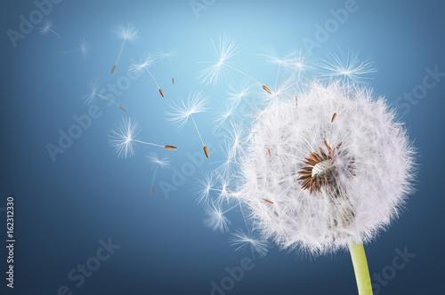 dandelion-latanie-na-blekitnym-tle
