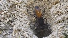 Tarantula Hawk Cleaning Sand F...