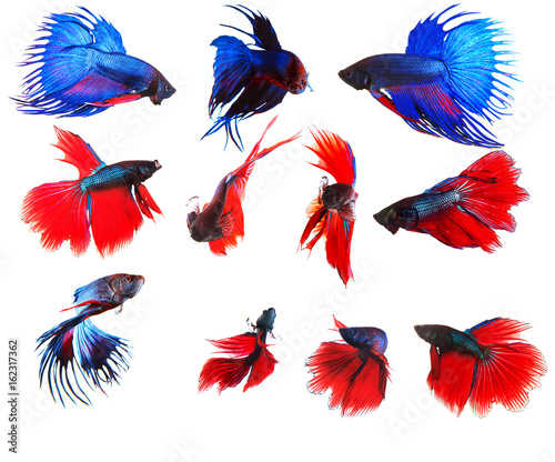 mixed of blue and red siamese fighting fish betta full body under water isolated Canvas Print