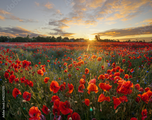 Foto op Canvas Zwavel geel Red poppies among cornflowers and other wildflowers in the setting sun