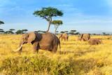 Fototapeta Sawanna - African elephant in The Maasai Mara National Reserve, Kenya