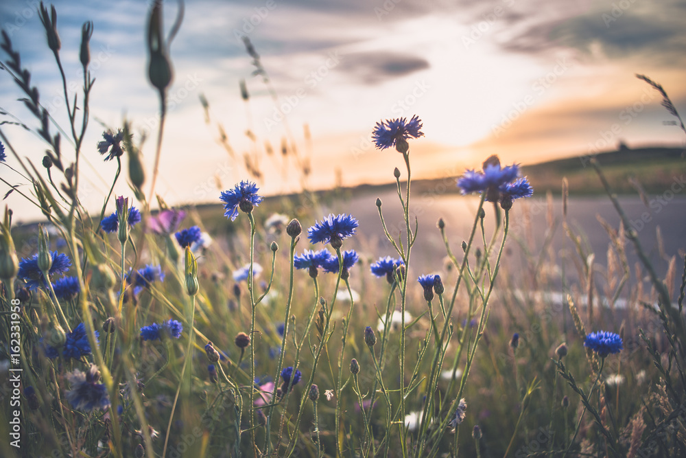 Fototapety, obrazy: Blooming wild poppies, cornflower and chamomile on the meadow at summertime