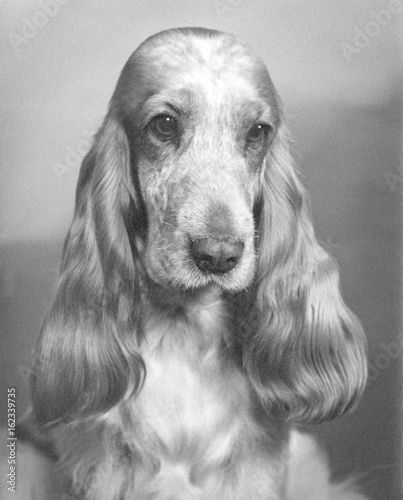 Fotografia  Fall - Cocker Spaniel - 1968. Date: 1968