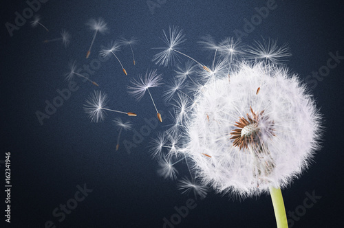 Dandelion flying on hal-blue background
