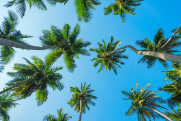Obraz na SzkleTropical coconut palm trees lush crowns perspective view