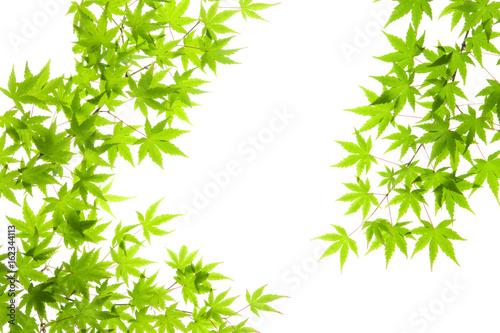 Fotomural 新緑のモミジ