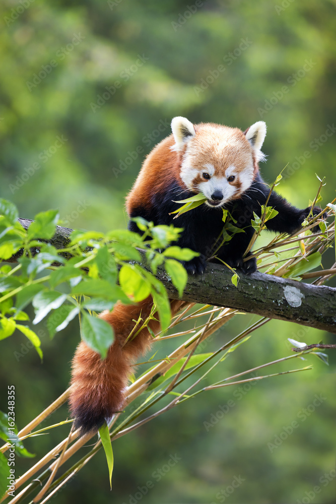 Red panda eating bamboo shoots