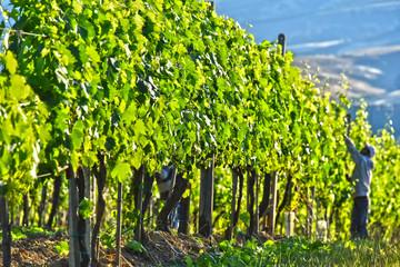Fototapeta Toskania Vineyard near the city of Montalcino, Tuscany, Italy