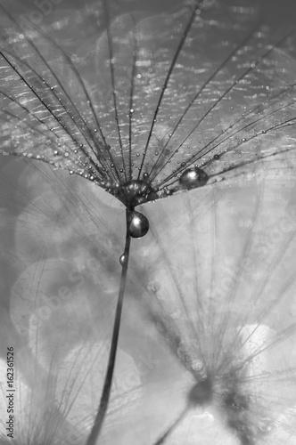 dandelion-z-kroplami-wody-czarno-biale-zdjecie-piekne-makro-z-mniszka-lekarskiego