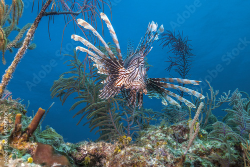 Tuinposter Koraalriffen Flying lion fish