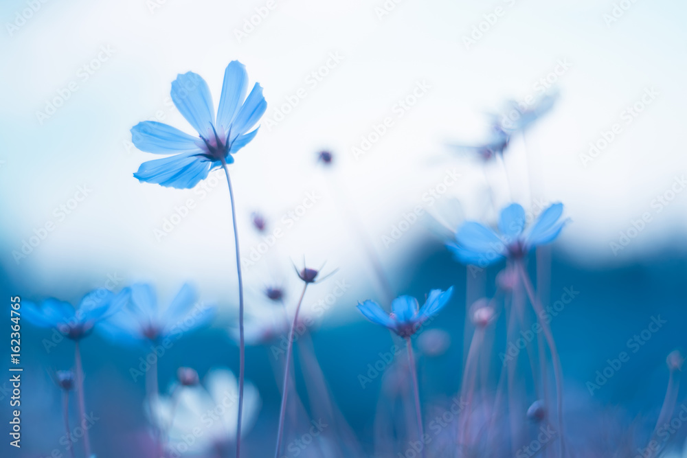 Fototapeta Delicate blue flowers. Blue cosmos with beautiful toning. Artistic image of flowers.