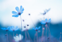 Delicate Blue Flowers. Blue Cosmos With Beautiful Toning. Artistic Image Of Flowers.