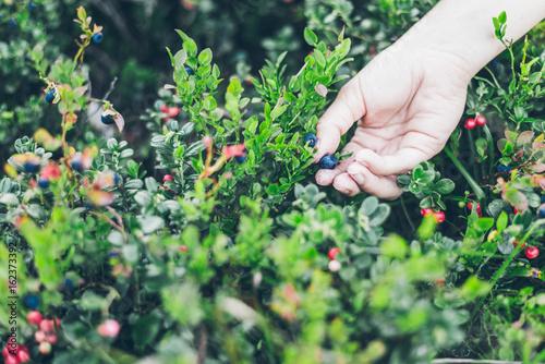 Fotografie, Obraz  Picking lingonberry. Woman gathering wild berries.