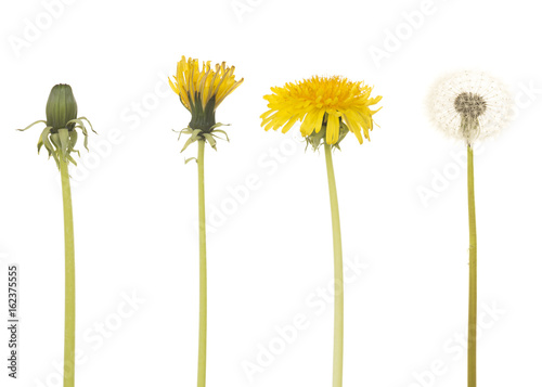 Keuken foto achterwand Paardenbloem Dandelion in four different stages isolated on a white background