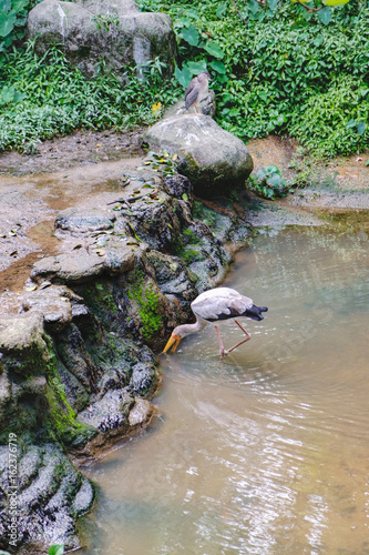 Fotografia  Young Yellow-billed stork or Mycteria ibis looking for food in the pond of Kuala Lumpur Bird park, Malaysia