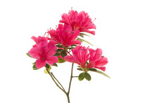 Pink Blosseming Azalea Flowers...