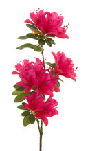 Single Branch With Pink Blosseming Flowers Isolated On A White Background In A Vertical Image