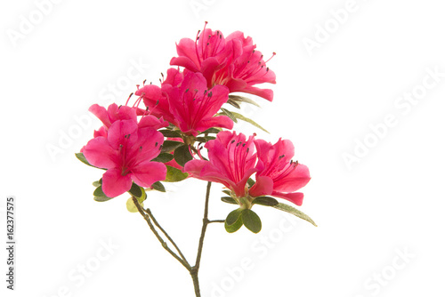 Foto op Canvas Azalea Pink blosseming azalea flowers on a branch isolated on a white background