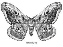 Giant Peacock Moth Illustratio...