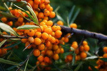 Branch Of Orange Sea Buckthorn Berries