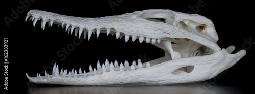 Recess Fitting Crocodile Schädel eines Nilkrokodil (Crocodylus niloticus) mit geöffnetem Maul