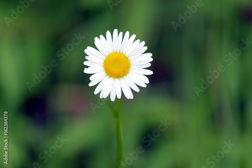 Beautiful alone field daisy flower with white petals grows in summer beautiful alone field daisy flower with white petals grows in summer day on green blur background mightylinksfo