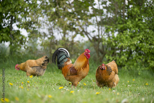 Free range chickens at the farm