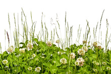 Limb Blooming In A Meadow Against A White Background. Spring Meadow With Clover In The Grass.