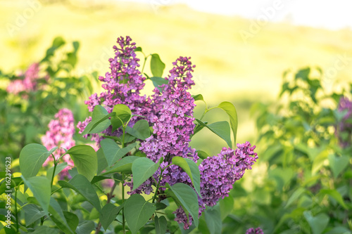 Beautiful blossoming of a lilac in the springtime.