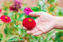 Selective Focus On Zinnia Petals Red Front The Woman Caught With Hands. Blurred Beautiful Flowers Soft Color For Background