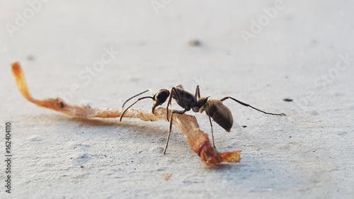 Plakat Makro- insekta czarna mrówka ruszać się jedzenia zakończenie up na ziemi w natura procesie w rocznika stylu