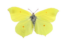 Common Brimstone Butterfly Iso...